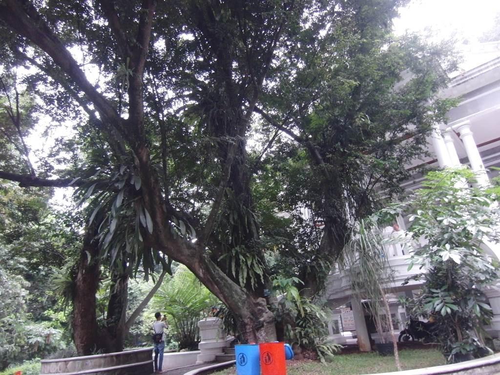 ボゴール植物園入口の巨木