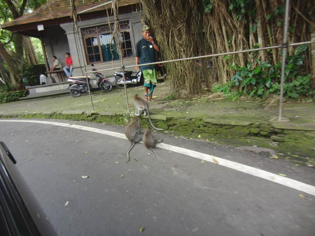 オナガザルが道路に座っていますよ