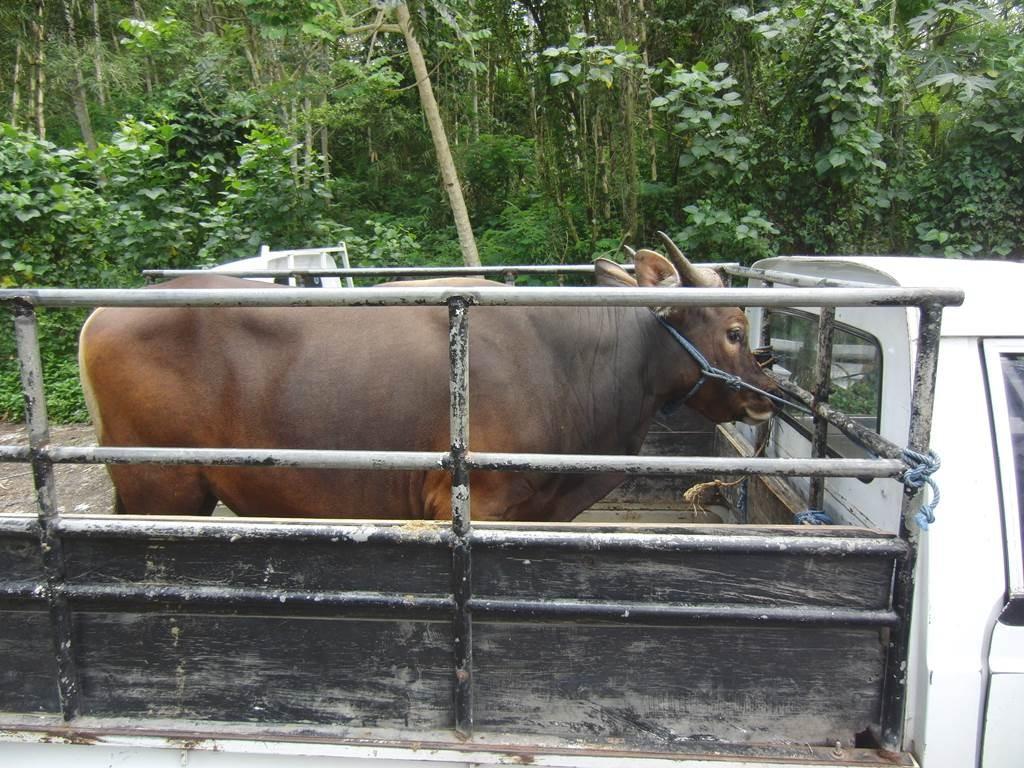 ウパチャラ用の牛