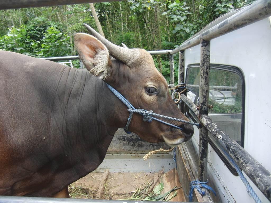 ブサキ寺院に牛を連れて来ていた。