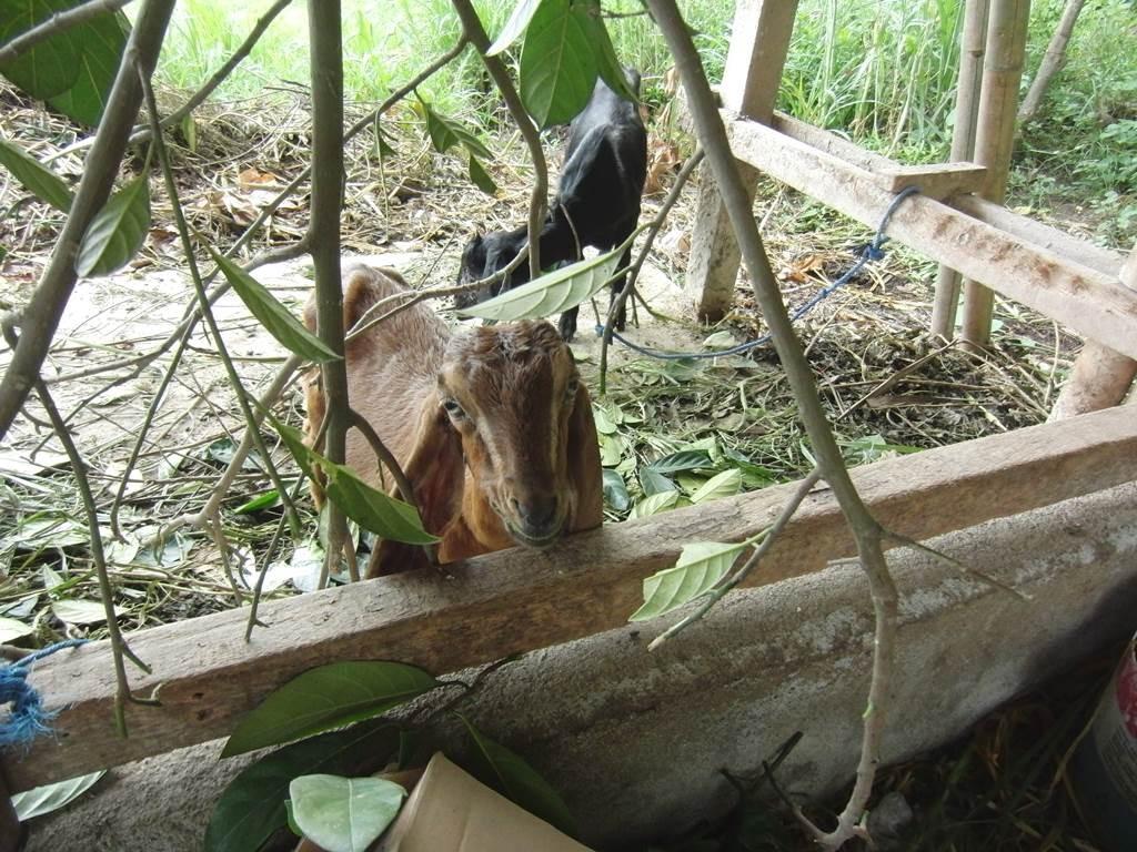 餌を食べるバリ島のヤギ